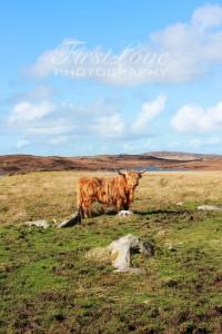 highlandcowdistant